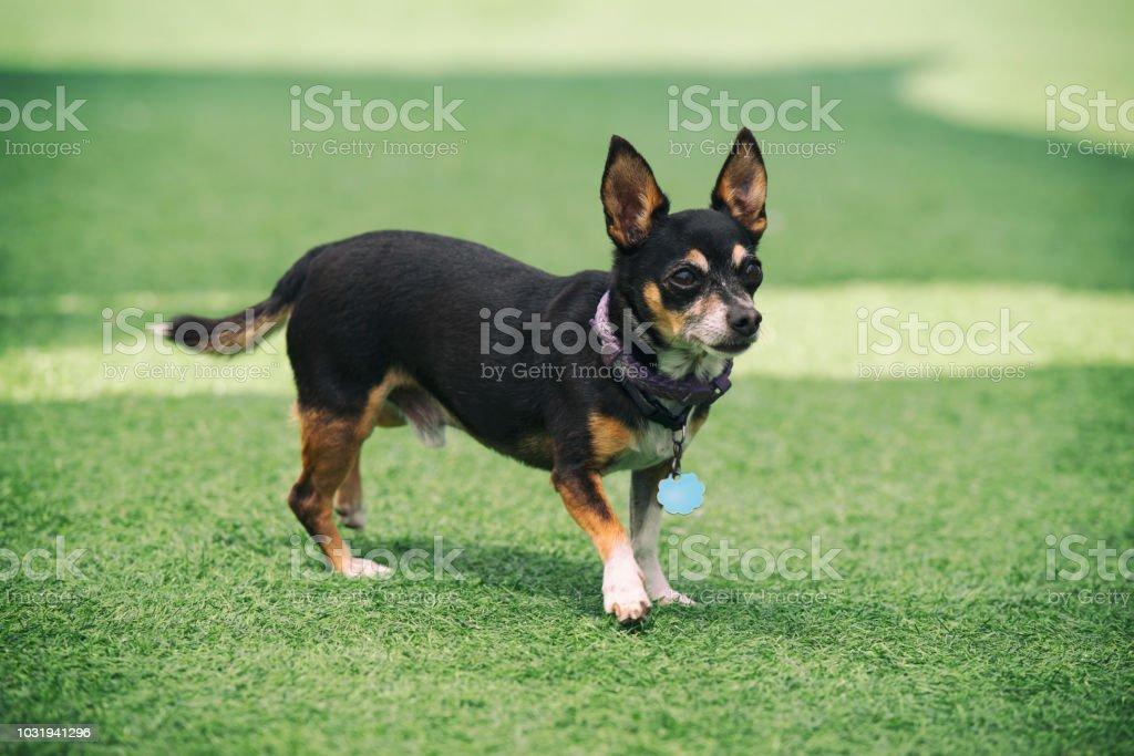 Cão de pincher miniatura na grama. - foto de acervo