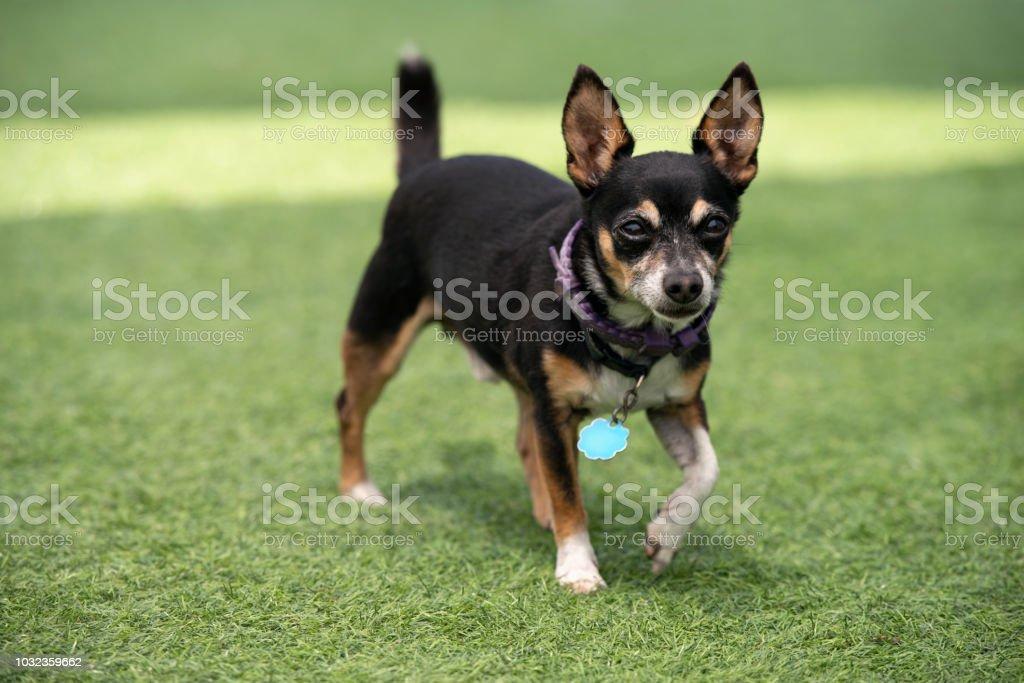 Cão de pincher miniatura andando na grama. - foto de acervo