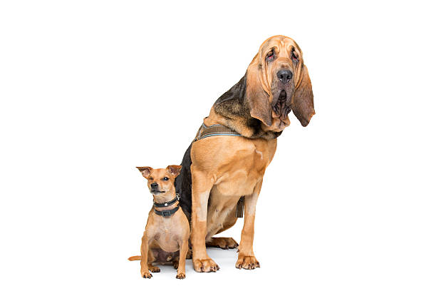 M Landsky- Bloodhound Bluthund - Bild...