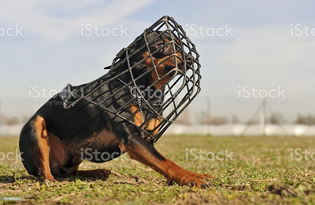 miniature pinscher and muzzle royalty-free stock photo