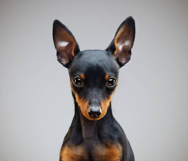 Miniature pinscher dog in studio stock photo