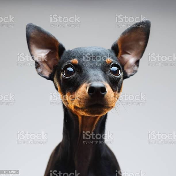 Miniature pinscher dog portrait picture id661905012?b=1&k=6&m=661905012&s=612x612&h=nvk7p2ecqug3z3ldhxmkijtml9jmjajjlafogn7 zlk=