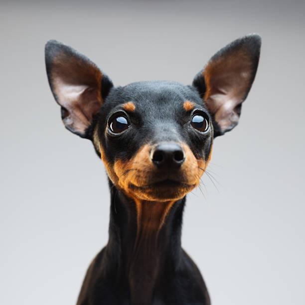 Miniature pinscher dog portrait picture id661905012?b=1&k=6&m=661905012&s=612x612&w=0&h=x6kba9yufexyyodbfsphnljbnl8z3 if9mb8u8pgosw=