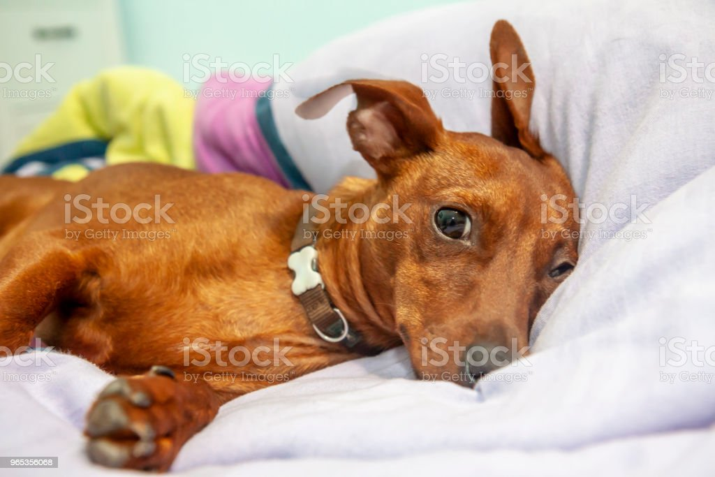 Miniature pinscher dog sleeping on a carpet zbiór zdjęć royalty-free