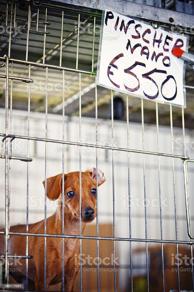 Zwergpinscher für den Verkauf auf ein Haustier-Markt – Foto