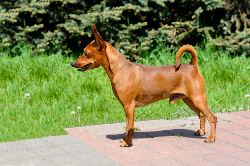 The Miniature Pinscher is in the park.