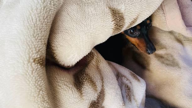 ミニチュアピンシャーは毛布の中でリラックスしています。 ストックフォト