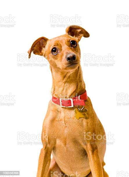 Miniature pinscher isolated on white picture id106558366?b=1&k=6&m=106558366&s=612x612&h=henpzw2r g60vdvskry31ynl gldteasd9y9luvskjy=