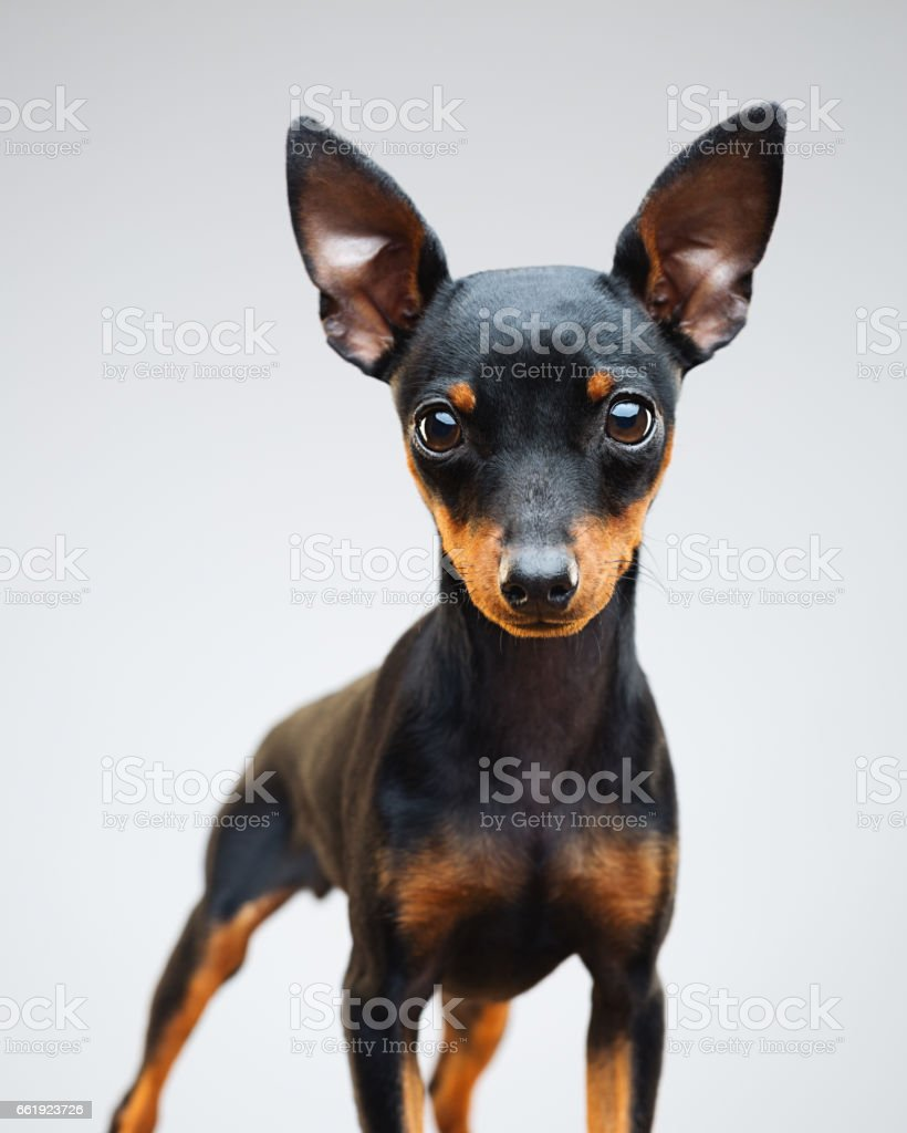Miniature Pinscher Puppy Dog On Grey Background Stock Photo More