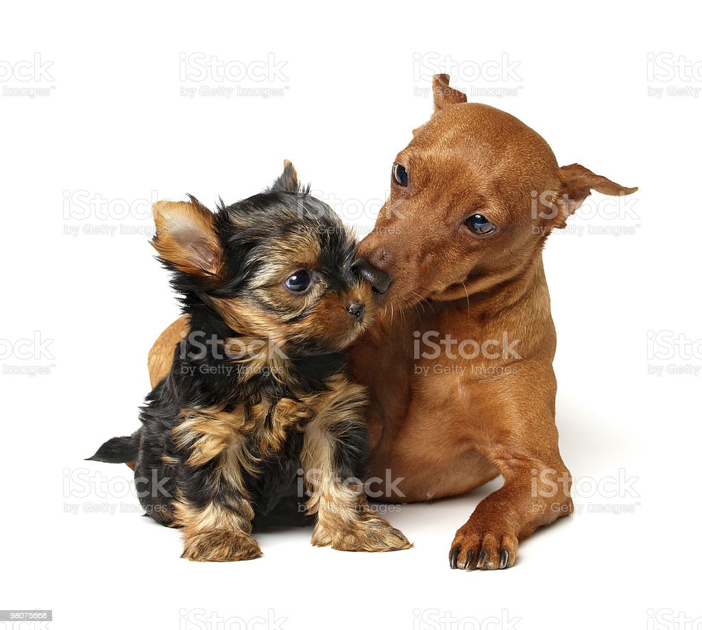 Miniature Pinscher takes care of the yorkshire puppy royalty-free stock photo