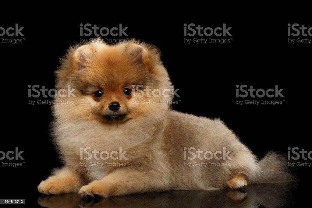 cachorro de Pomeranian Spitz miniatura em fundo preto - foto de acervo