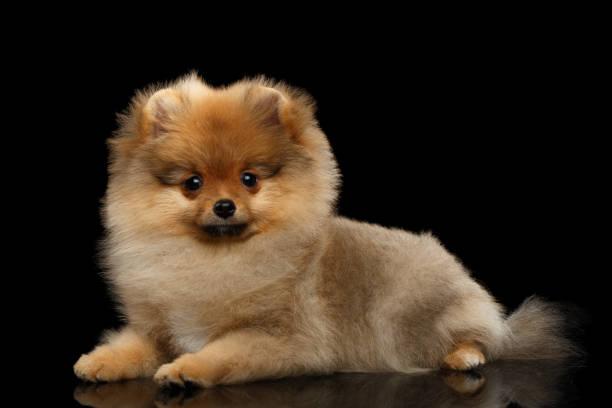 miniature Pomeranian Spitz puppy on black background stock photo