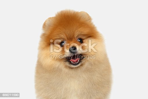 533229488 istock photo miniature Pomeranian Spitz puppy on white background 656211590