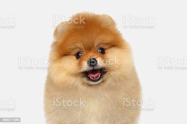 Miniature pomeranian spitz puppy on white background picture id656211590?b=1&k=6&m=656211590&s=612x612&h=2nrqqhrclep0c7h2s duczcywpfwdy73makyu8ushb0=