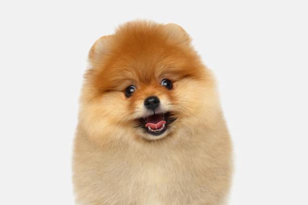 miniature Pomeranian Spitz puppy on white background stock photo