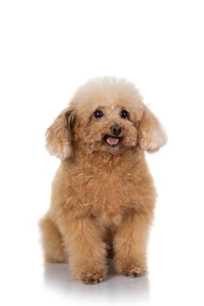 Miniature poodle dog isolated picture id1140779418?b=1&k=6&m=1140779418&s=612x612&w=0&h=0bxkibhvcomw8eiim2x1nzk2npts86afoat7af1tb2w=