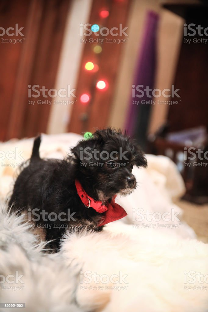 Miniature Poodle Mix Puppy Dog Rescue Sitting On A Fluffy
