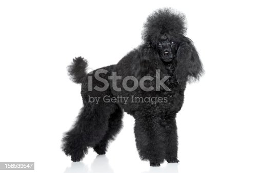 Black miniature poodle stand on white background