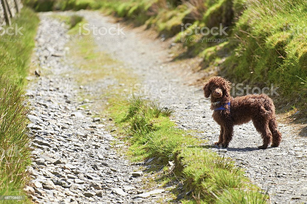 Miniature Poodle - Royalty-free Absence Stock Photo