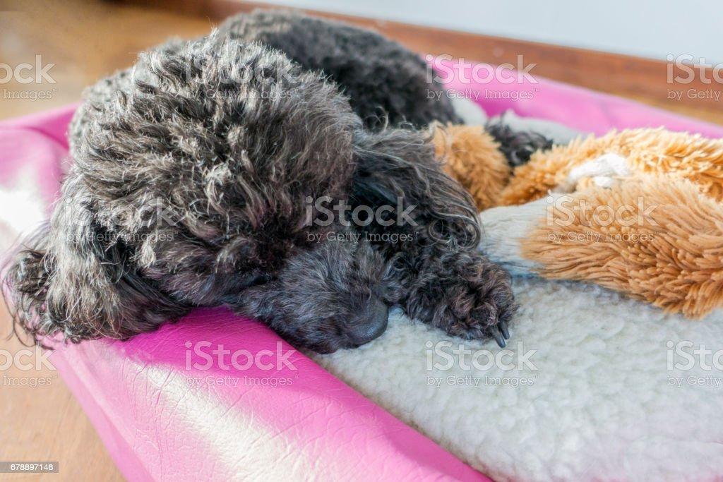 Miniature Poodle photo libre de droits