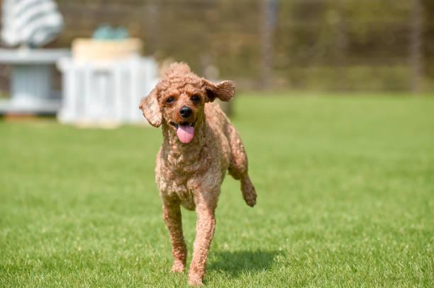 Miniature poodle playing with dog run picture id1220071210?b=1&k=6&m=1220071210&s=612x612&w=0&h=msbdnhsodg2etceygiwsieziifzctuxowojwujkddek=