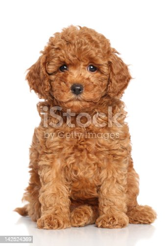 Miniature Poodle Puppy sits on a white background