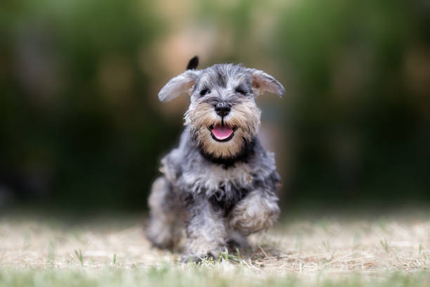 miniature puppy schnauzer at play - puppy stock pictures, royalty-free photos & images
