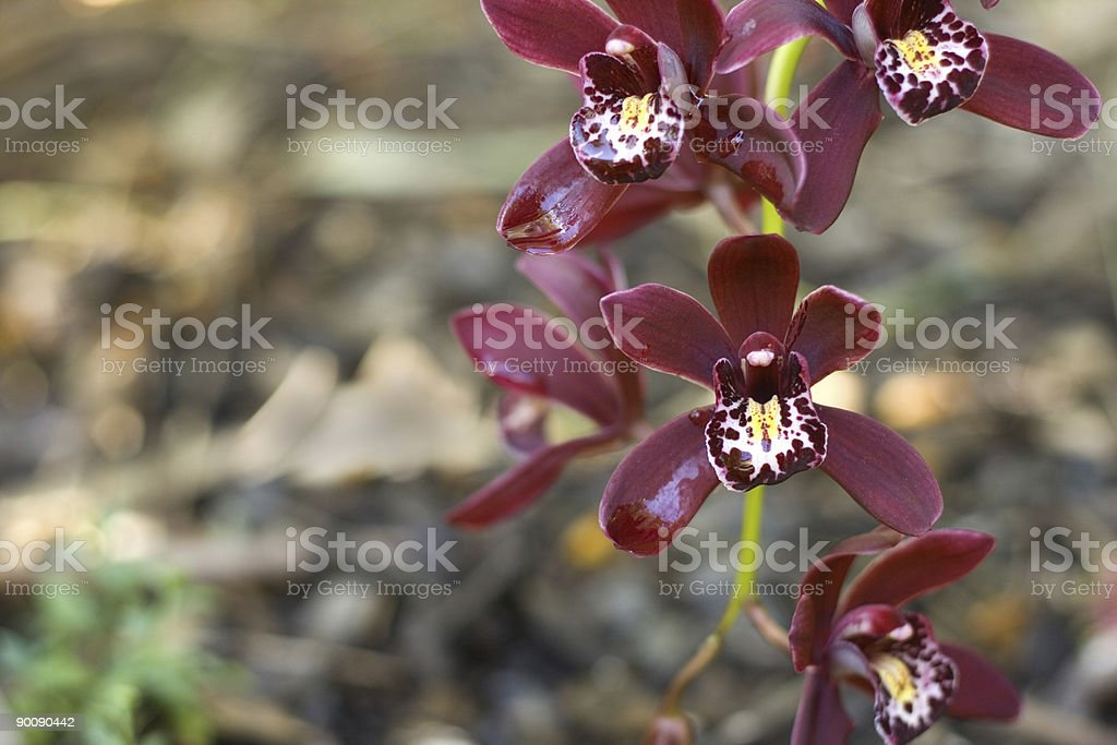 Miniature red cymbidium orchid stock photo