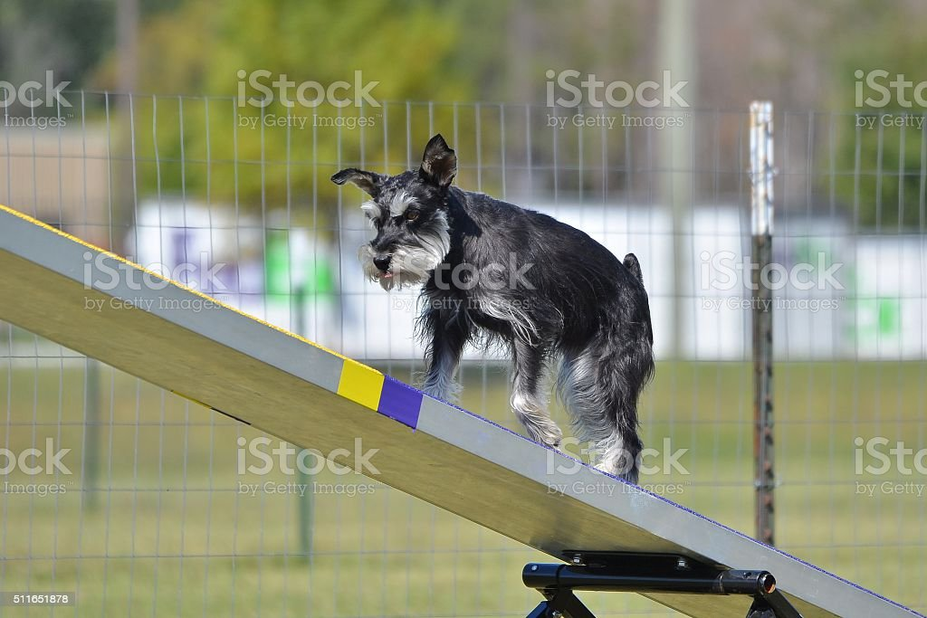 Miniature Schnauzer on a Teeter Totter at Dog Agility Trial
