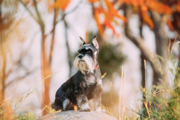 Miniature Schnauzer Dog Or Zwergschnauzer Funny Sitting Outdoor In Autumn Day stock photo