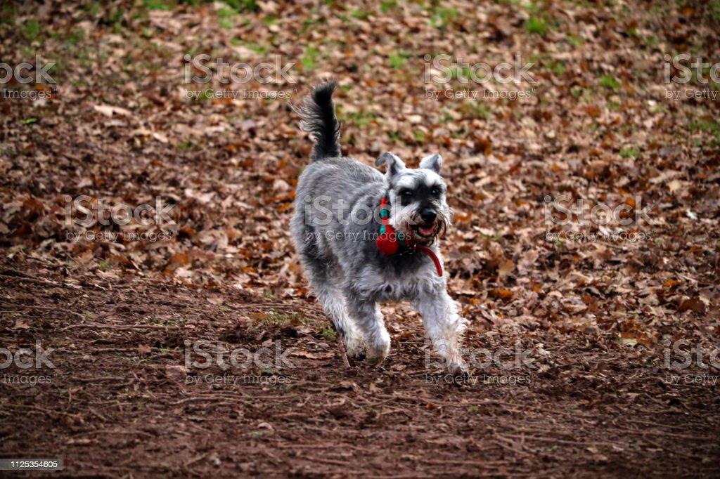 Miniature Schnauzer Dog stock photo