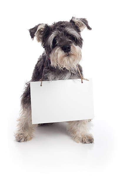 Miniature schnauzer pet dog holding sign on white background picture id154947951?b=1&k=6&m=154947951&s=612x612&w=0&h=kbptfnbqplysxkilrgnmacf5lkgdaj0qtcwgpnigkbu=