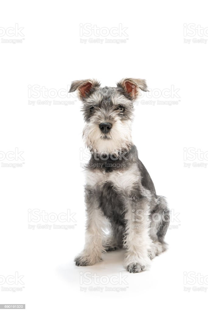 Miniature Schnauzer Puppy Stock Photo Download Image Now Istock