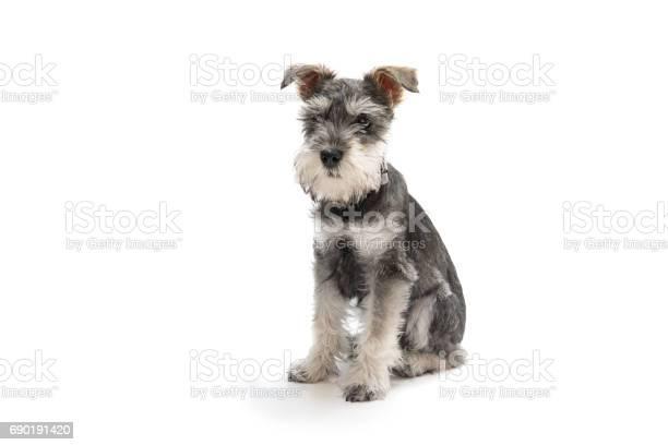 Miniature schnauzer puppy picture id690191420?b=1&k=6&m=690191420&s=612x612&h=xhsiqr35atznepj q9avzuvln1c2yczkdcmfct4w2am=