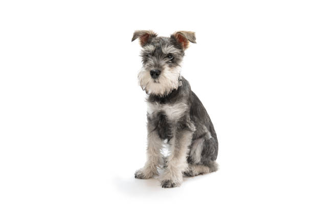 Miniature schnauzer puppy picture id690191420?b=1&k=6&m=690191420&s=612x612&w=0&h=doaiq9cim1cpdlq q1m3yj djkzmnhyyhkruqytityg=