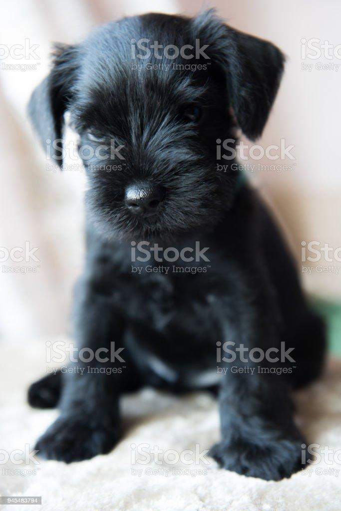 Miniature Schnauzer Puppy Stock Photo Download Image Now Istock