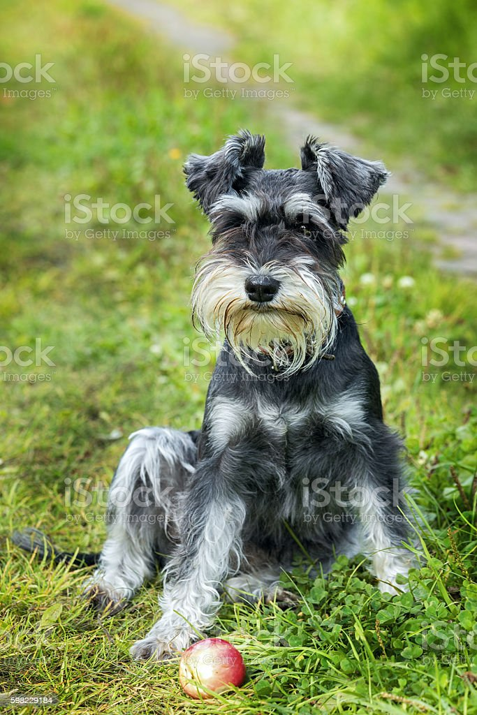 Miniature schnauzer sits on the grass outdoor foto royalty-free