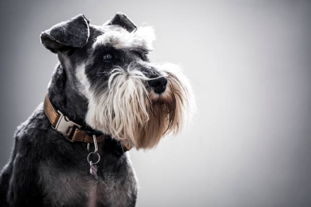 Miniature Schnauzer with full beard and copper collar stock photo