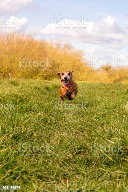 Miniature smooth haired dachshund picture id938468874?b=1&k=6&m=938468874&s=612x612&h=s 73yzoqiz96wryiptrm3z vi1frsacfxau4cym2qxy=