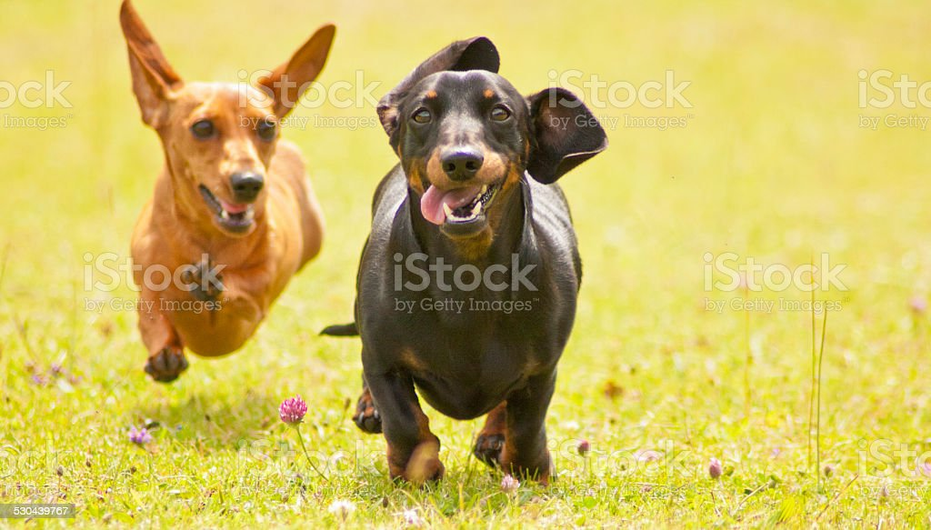 Miniature Smooth Haired Dachshunds Two Miniature Smooth Haired Dachshunds racing along through an open field of grass. Dachshund Stock Photo