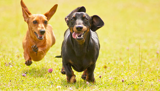 miniature smooth haired dachshunds - tax bildbanksfoton och bilder