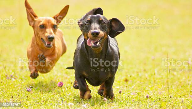Miniature Smooth Haired Dachshunds Stock Photo - Download Image Now