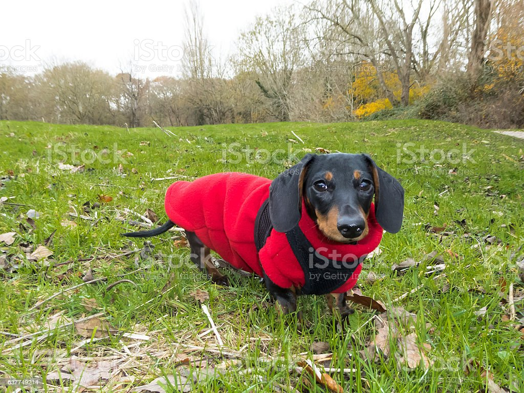 Miniature Smooth-haired Dachshund on grass stock photo