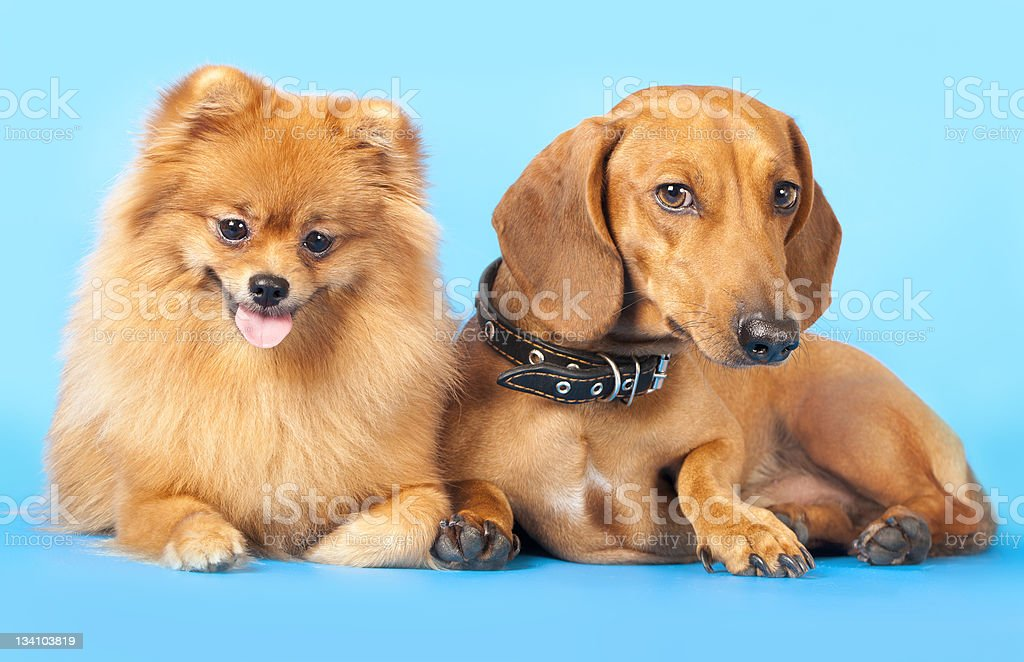 Miniature Spitz and dachshund royalty-free stock photo