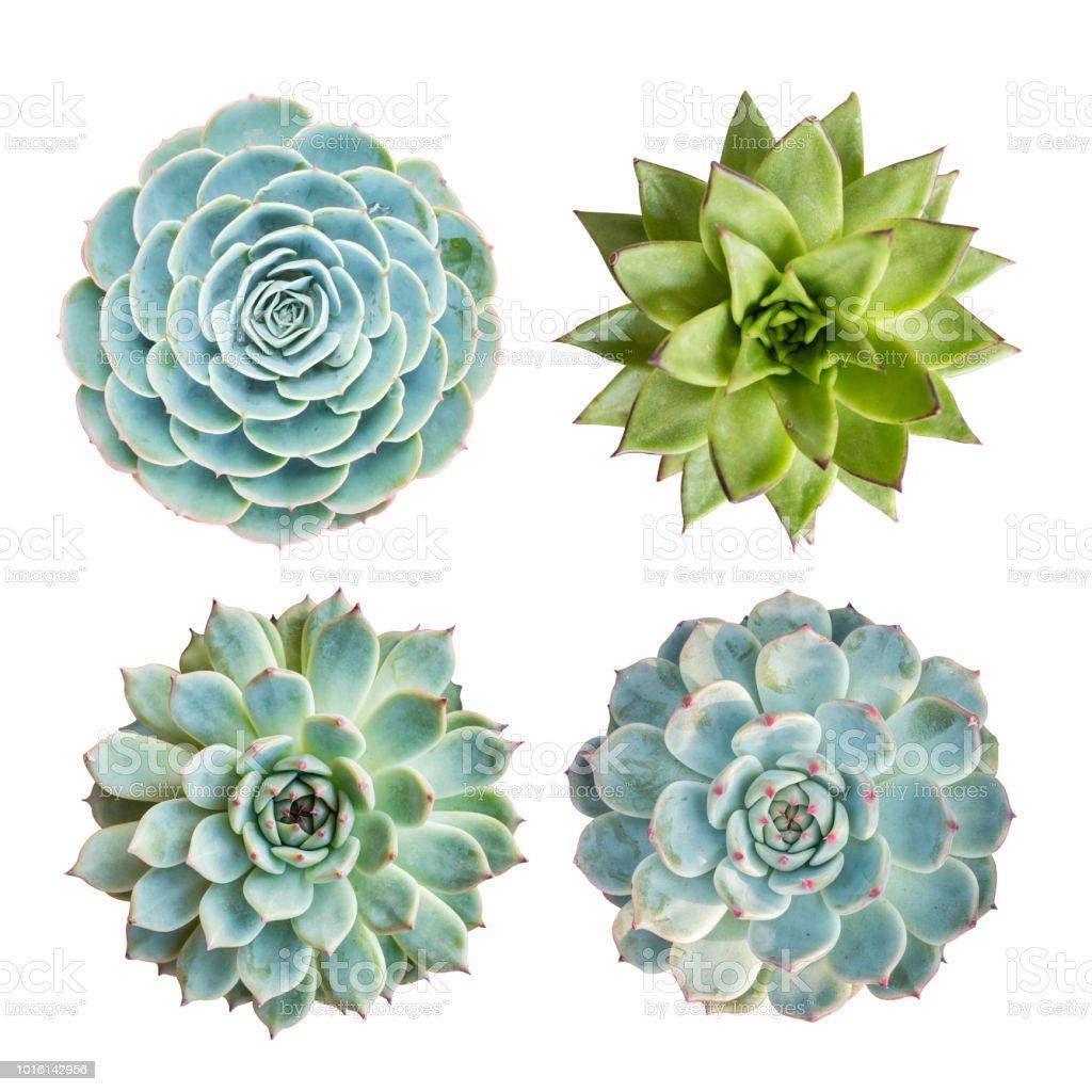İzole minyatür etli bitkiler - Royalty-free Alternatif Terapi Stok görsel