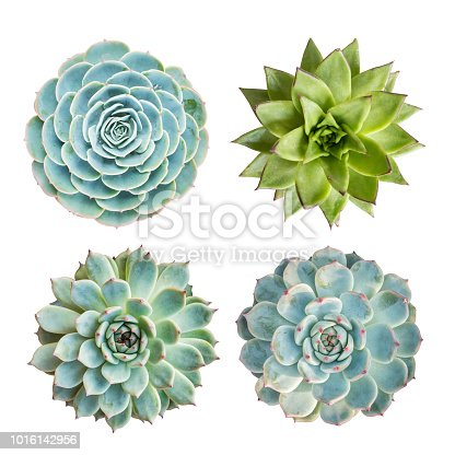 Miniature succulent plants isolated on white background