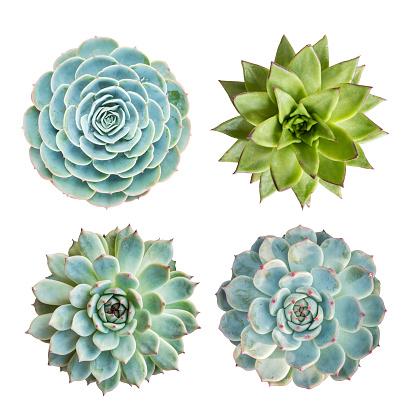 İzole Minyatür Etli Bitkiler Stok Fotoğraflar & Alternatif Terapi'nin Daha Fazla Resimleri