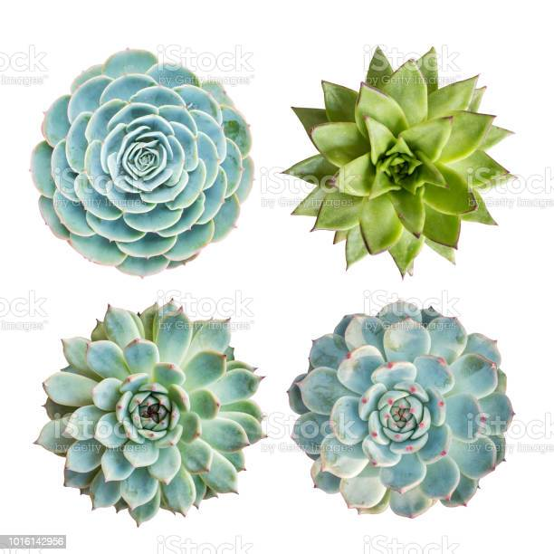 Photo of Miniature succulent plants isolated