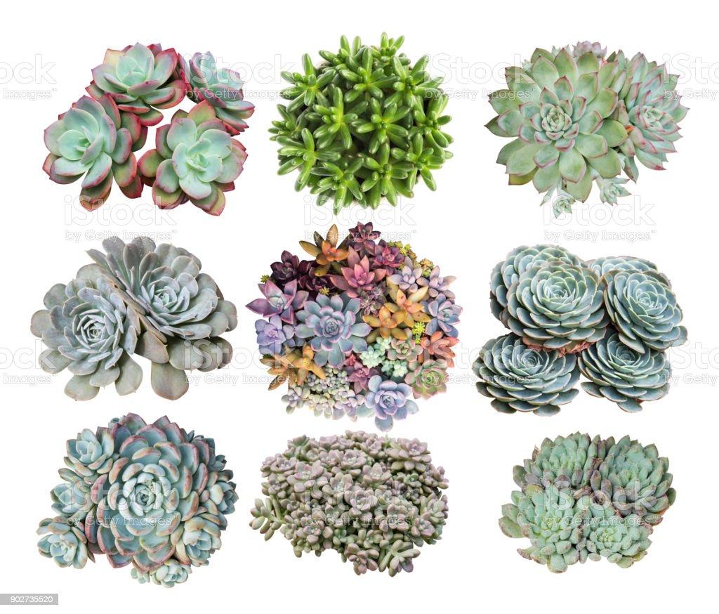 Miniature succulent plants isolated stock photo