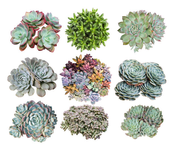Miniature succulent plants isolated collection of Miniature succulent plants isolated on white background sedum plant stock pictures, royalty-free photos & images